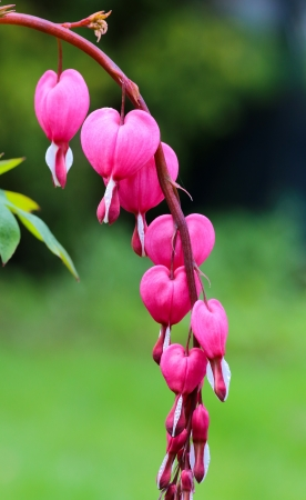 Lamprocapnos spectabilis also known as old-fashioned bleeding-heart