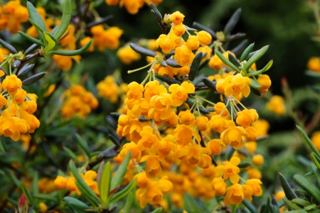Berberis × stenophylla