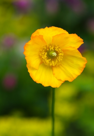 Gelbe Mohnbl�te auf bunten Hintergrund Lizenzfreie Bilder