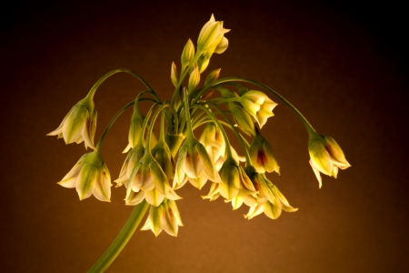 early summer: Nectaroscordum Siculum - Honey Lily, Sicilian Honey Lily, Sicilian Honey Garlic or Mediterranean Bells bloom in late spring or early summer Stock Photo