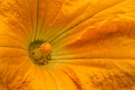 Eierk�rbis eine Blume Nahaufnahme Lizenzfreie Bilder