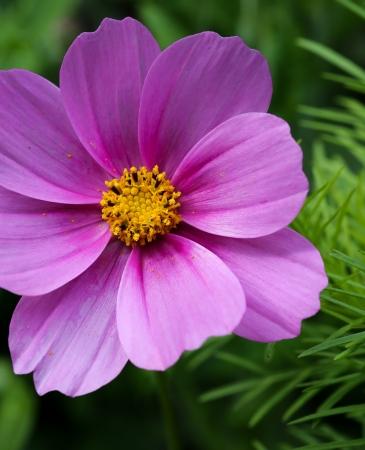 Sch�ne rosa Blume Cosmos auf gr�nem Hintergrund Lizenzfreie Bilder