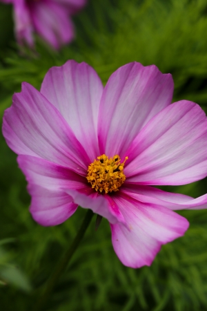 Beautiful pink Cosmos Flower on green background