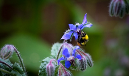 Bumble Bee pollinating Starflower  Borago officinalis  blossom and buds photo