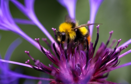 Perennial Cornflower - large spiky cobalt-blue flower head with purple center and Bumblebee Stock Photo - 20442109