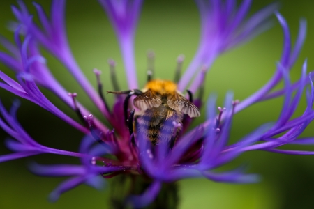 Perennial Cornflower - large spiky cobalt-blue flower head with purple center and Bumble bee photo
