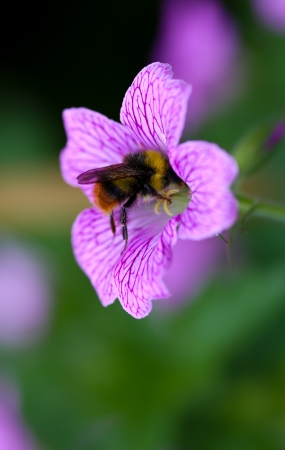 Bumble Bee pollinating Endres cranesbill  Geranium endressii  blurred background photo