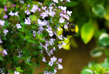 Bumble Bee pollinating the Creeping Thyme Stock Photo