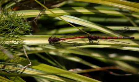 trithemis: Large Red Damselfly  Red and black dragonfly  - Tandem pair with male