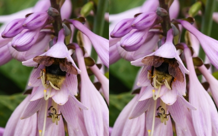 Bumblebee pollinating the pink flower photo