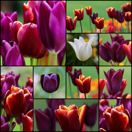 Violet red white tulip flowers set collage collection black frame