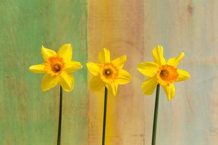 Drei gelbe Narzissen-Blumen (Narcissus) auf hellen gr�nen gelben Hintergrund