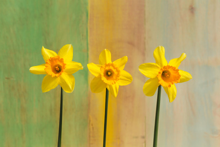 Three yellow Daffodil flowers (Narcissus) on bright green yellow background