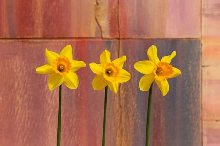 Three yellow Daffodil flowers (Narcissus) on dark orange pink background