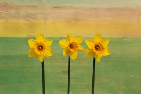 Drei gelbe Narzisse Blumen (Narcissus) auf hellen gr�nen gelben Hintergrund
