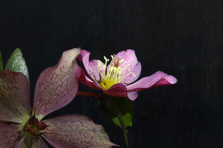 Pink Christmas rose Hellebore niger flowers on dark grey background Stock Photo