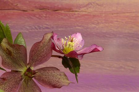 Pink Christmas rose Hellebore niger flowers on dark purple orange background