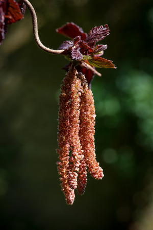 hazel branches: Orange catkins Corkscrew hazel hanging on branches red leaves dark background Stock Photo