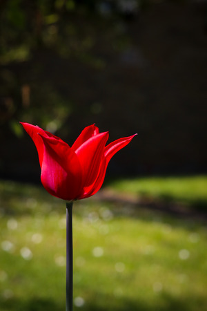 Red tulip bud flower close up in garden green background Stock Photo
