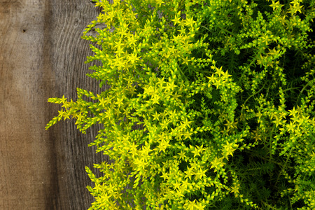 Yellow Blooming Sedum sexangulare Rockery Garden Plants small star shaped flowers on old wood background