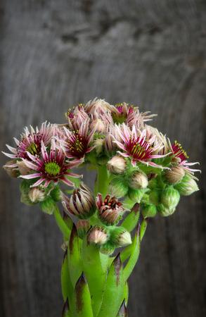 Bl�hende Blumen Sempervivum calcareum, H�hner und K�ken Anlage, raue Holzuntergrund