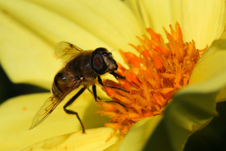 apis: Bee apis pollinating yellow dahlia flower dark background