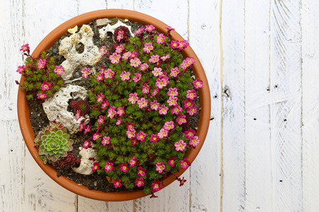clay pot: Mini Alpine garden sedum Saxifrage pink flowers blossom with rocks in clay pot on white painted wooden background