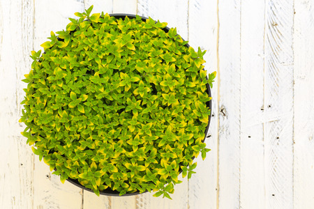 origanum: Oregano herb spicy plant with green yellow leaves (Origanum vulgare aureum) wild marjoram in black plant pot on white painted wooden background