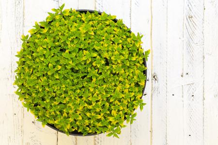 hintergrund gr�n gelb: Oregano herb w�rzige Pflanze mit gr�nen gelben Bl�tter (Origanum vulgare aureum) wilder Majoran in schwarz Blumentopf auf wei� gestrichenem Holzuntergrund