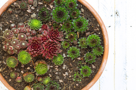 Mini Alpine garden sedum collection green, silver and red leaves in clay pot on white painted wooden background photo