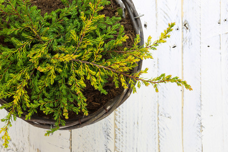 ground cover: Golden Juniper ground cover plant in wicker basket, green yellow branches on white painted wooden background