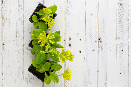 primula veris: Primula veris common cowslip yellow flowers in black plant pots on white painted wooden background