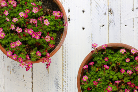clay pot: Sedum Saxifrage pink flowers blossom with rocks in clay pot on white painted wooden background Stock Photo