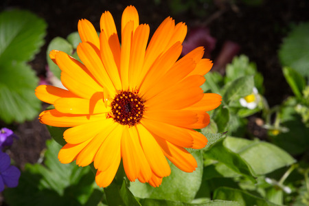 pot marigold: Bright orange flower pot marigold Calendula officinalis in the garden with green leaves background Stock Photo