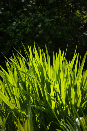 Bright Crocosmia leaves on dark background sun light on young leaves photo