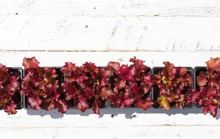Junge rote Lollo Rosso Salat Bl�tter in kleine Blument�pfe auf wei� lackiert groben Holz Hintergrund