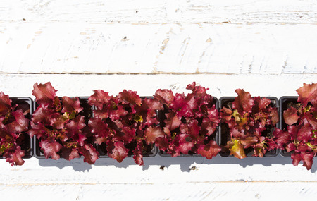 Young red Lollo Rosso Lettuce leaves in small plant pots on white painted rough wood background