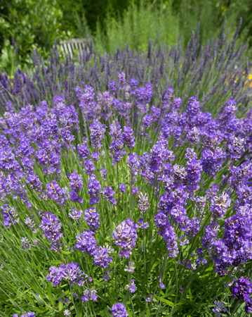 lavande: Lavender flowers in cottage herbal garden Stock Photo