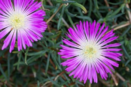 violette fleur: D�licate fleur pourpre aizoaceae, lampranthus spectabilis