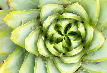 polyphylla: Aloeaceae, Aloe Polyphylla, Spiral Aloe - Lesotho traditional plant Stock Photo