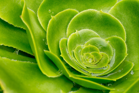canaries: Aeonium canariense Verode Bejeque, giant velvet rose, cactus plant from Canary Islands Stock Photo
