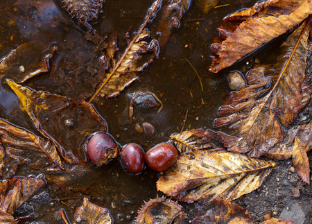 light brown horse: Horse chestnut tree conkers, autumn leaves and shells in rain puddle on dirty street