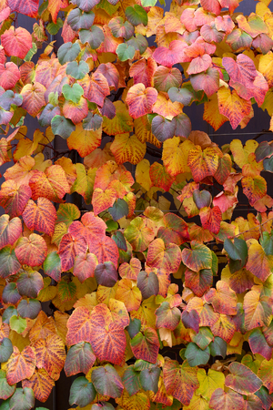 ivy vine: Multi colored autumn ivy vine leaves purple red orange brown yellow wall