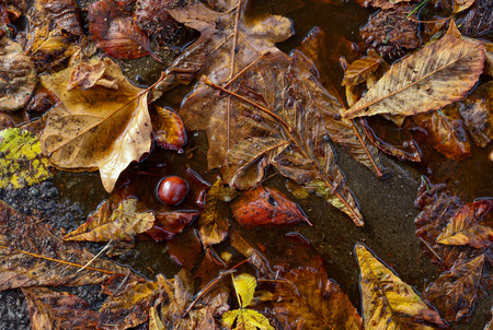 horse chestnut': Horse chestnut tree conkers, autumn leaves and shells in rain puddle on dirty street