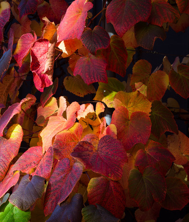 ivy vine: Sunny light spot on multi colored autumn ivy vine leaves purple red orange brown yellow wall