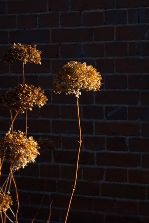 onion flowers: Dry decorative allium onion flowers in autumn sun over brick wall in shadow background