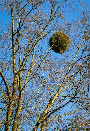 parasitic: Mistletoe ball on a tree parasitic plant blue sky background