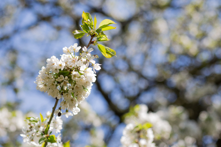 suny: Flowers of the cherry blossoms on a spring suny day, blurred background