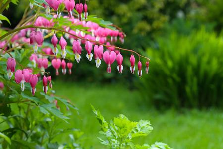 hemorragias: Flor del corazón sangrante (Dicentra Spectabils) amor corazón lira de flores sobre fondo verde blured