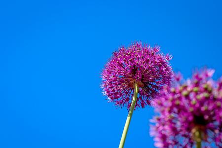 allium flower: Allium flower blooming, giant leek (Allium Giganteum) blue sky background